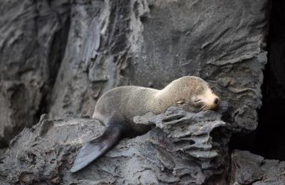 Genovesa-sleeping seal