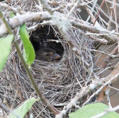 Nesting finch