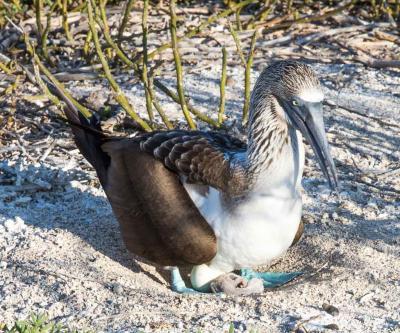blue-footed boobie nest