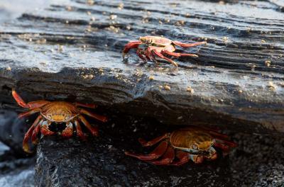hiding crabs